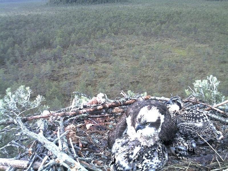 Latvian Osprey Nest ~ 2014 ~ Pērkons & Lauma 2014-769