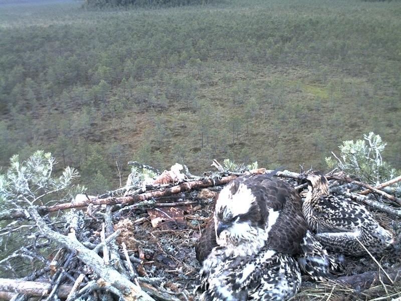 Latvian Osprey Nest ~ 2014 ~ Pērkons & Lauma 2014-770