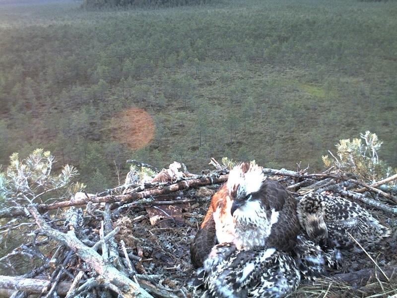 Latvian Osprey Nest ~ 2014 ~ Pērkons & Lauma 2014-771