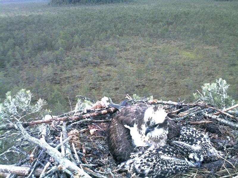 Latvian Osprey Nest ~ 2014 ~ Pērkons & Lauma 2014-772