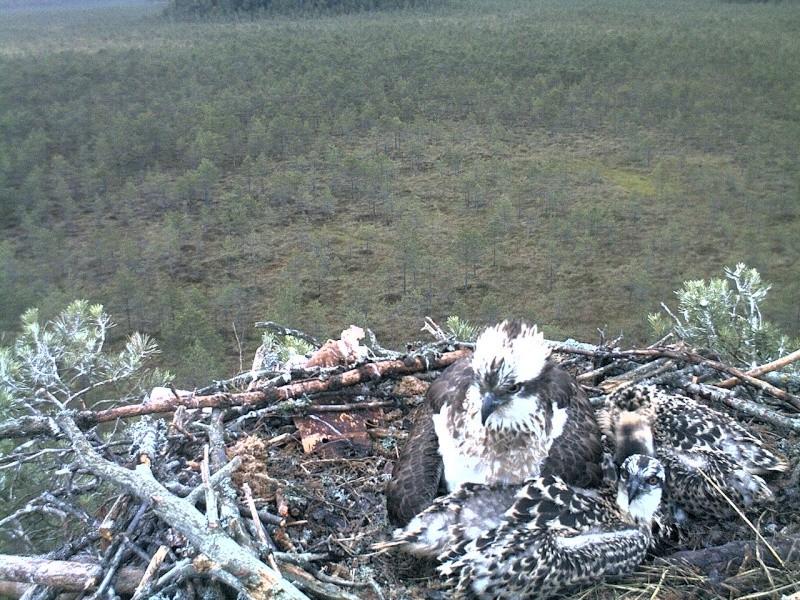 Latvian Osprey Nest ~ 2014 ~ Pērkons & Lauma 2014-773