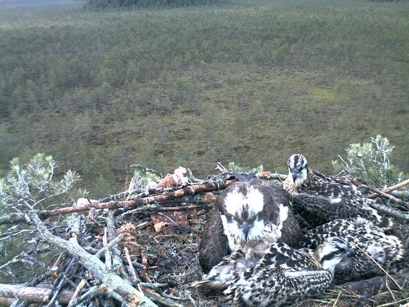 Latvian Osprey Nest ~ 2014 ~ Pērkons & Lauma 2014-774