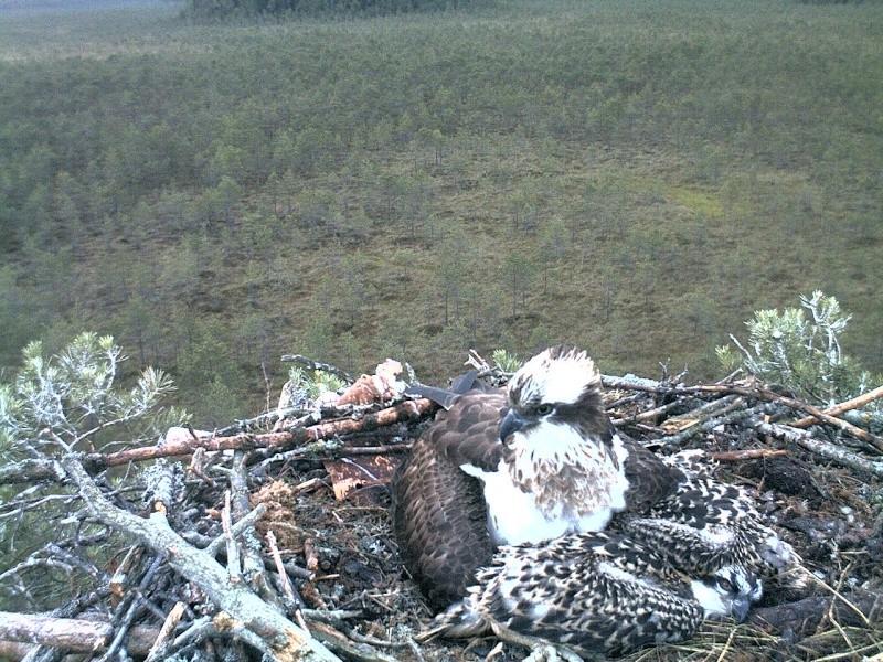 Latvian Osprey Nest ~ 2014 ~ Pērkons & Lauma 2014-775