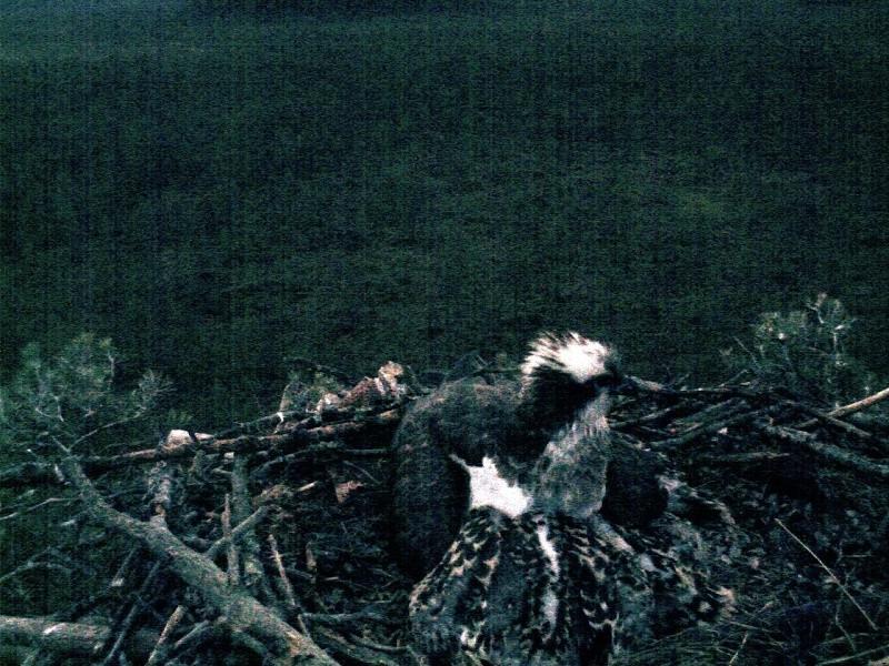 Latvian Osprey Nest ~ 2014 ~ Pērkons & Lauma 2014-776