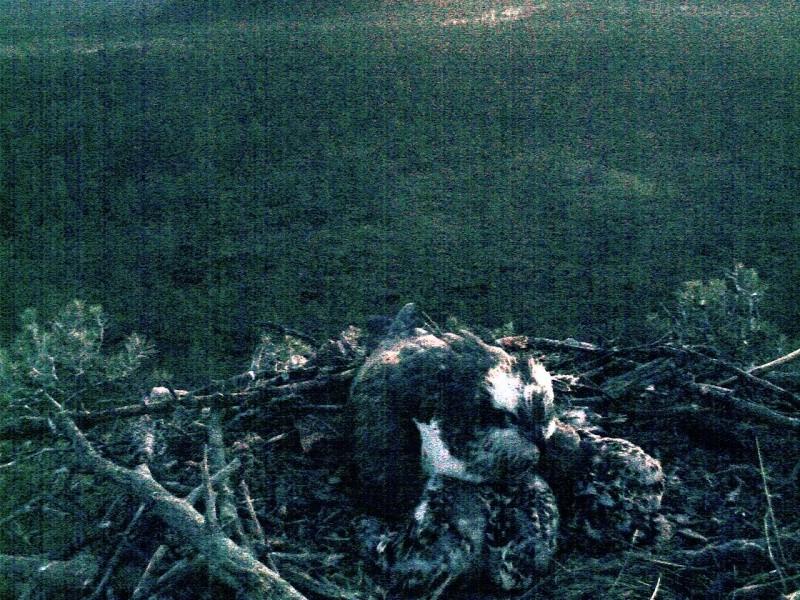 Latvian Osprey Nest ~ 2014 ~ Pērkons & Lauma 2014-777