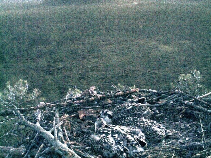 Latvian Osprey Nest ~ 2014 ~ Pērkons & Lauma 2014-778