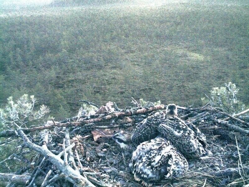 Latvian Osprey Nest ~ 2014 ~ Pērkons & Lauma 2014-779
