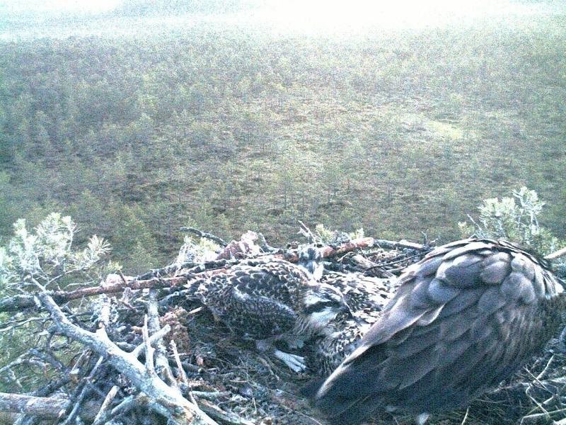 Latvian Osprey Nest ~ 2014 ~ Pērkons & Lauma 2014-780
