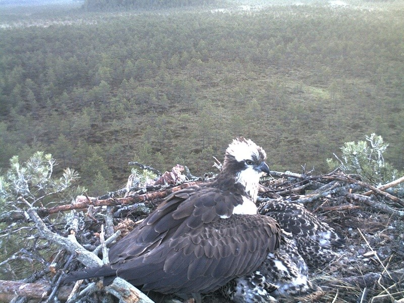 Latvian Osprey Nest ~ 2014 ~ Pērkons & Lauma 2014-781