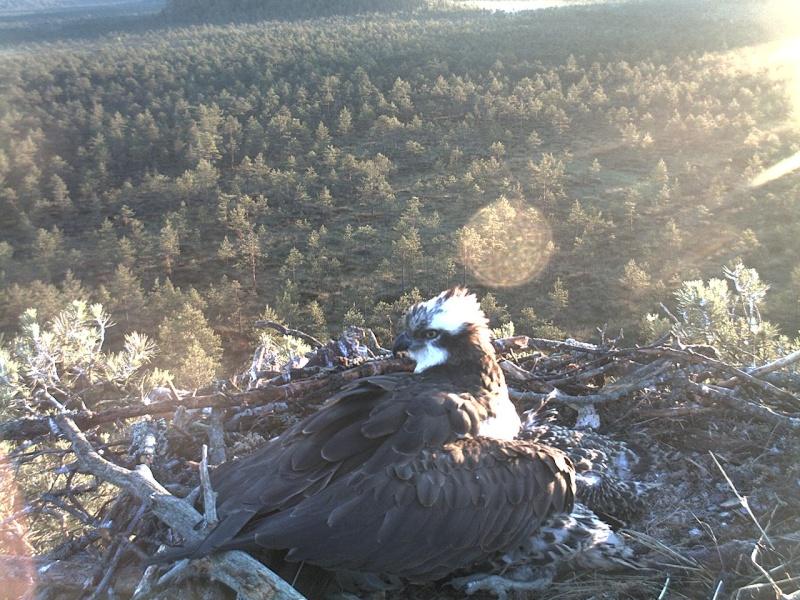Latvian Osprey Nest ~ 2014 ~ Pērkons & Lauma 2014-782