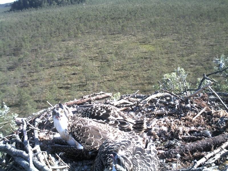 Latvian Osprey Nest ~ 2014 ~ Pērkons & Lauma - Page 40 2014-983