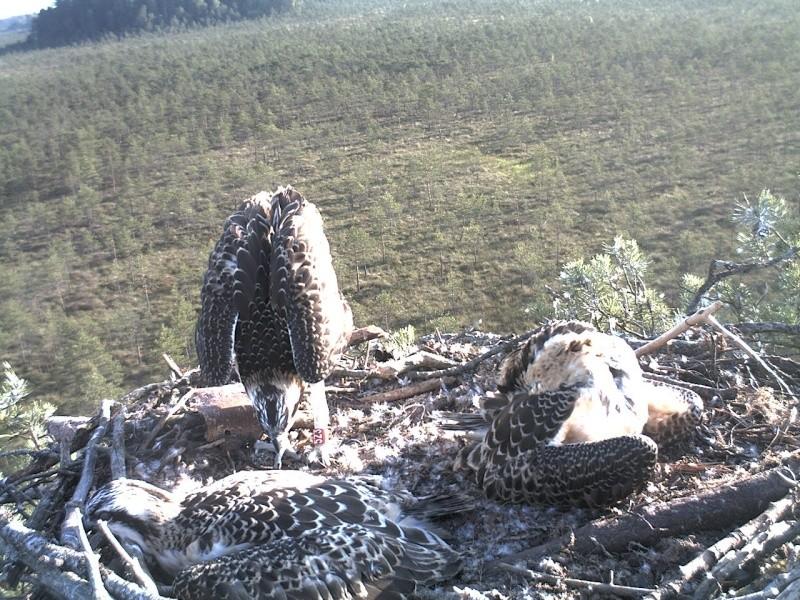 Latvian Osprey Nest ~ 2014 ~ Pērkons & Lauma - Page 2 2014-984
