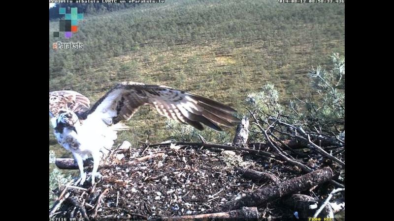 Latvian Osprey Nest ~ 2014 ~ Pērkons & Lauma - Page 26 L008610