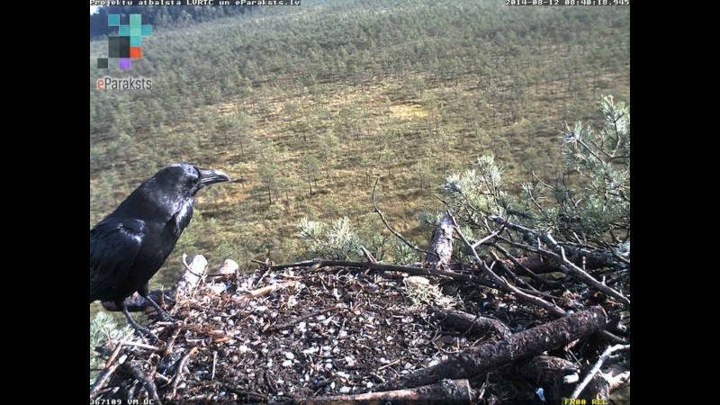 Latvian Osprey Nest ~ 2014 ~ Pērkons & Lauma - Page 26 L009110