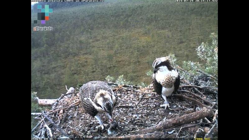 Latvian Osprey Nest ~ 2014 ~ Pērkons & Lauma N122811