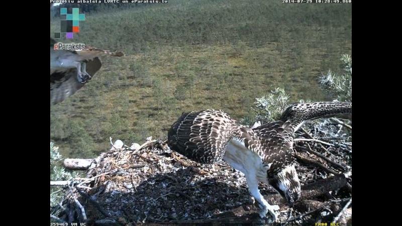 Latvian Osprey Nest ~ 2014 ~ Pērkons & Lauma - Page 40 N1232510