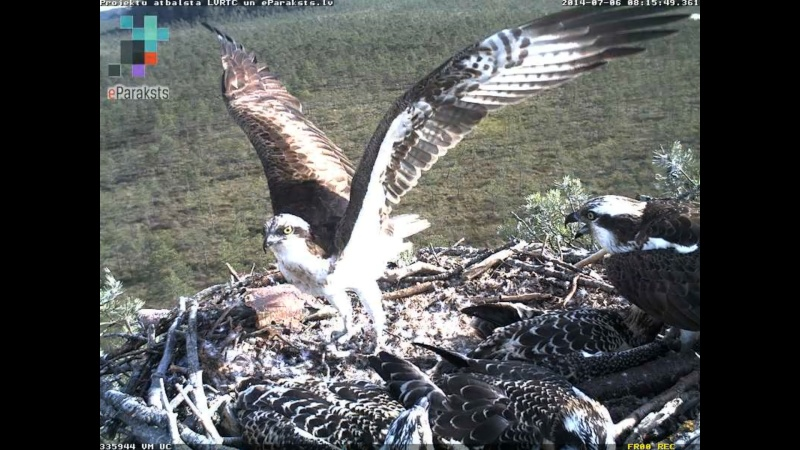 Latvian Osprey Nest ~ 2014 ~ Pērkons & Lauma - Page 2 R1234513