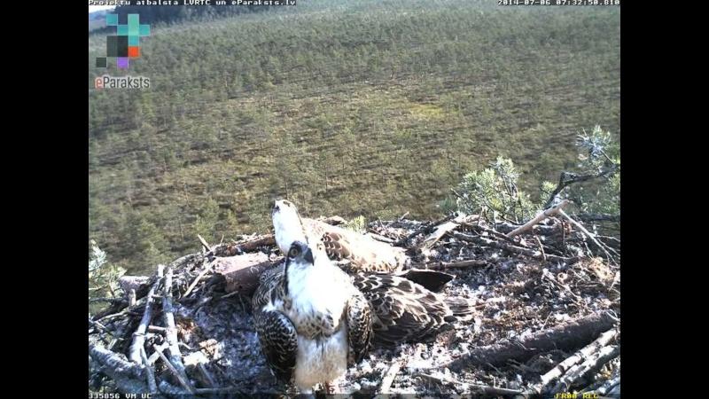 Latvian Osprey Nest ~ 2014 ~ Pērkons & Lauma - Page 2 S00010