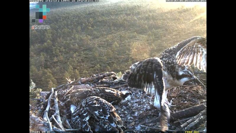 Latvian Osprey Nest ~ 2014 ~ Pērkons & Lauma - Page 2 S000410