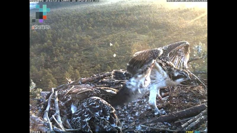 Latvian Osprey Nest ~ 2014 ~ Pērkons & Lauma - Page 2 S000510