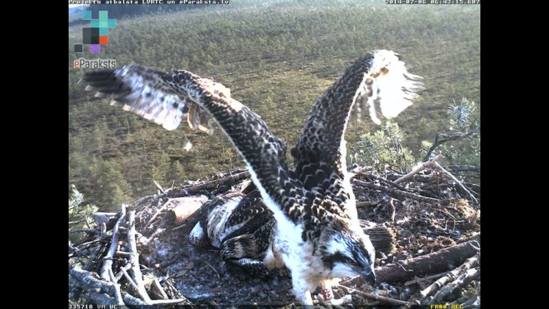 Latvian Osprey Nest ~ 2014 ~ Pērkons & Lauma - Page 2 S000710