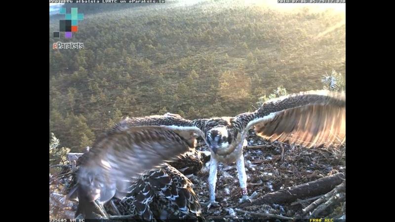 Latvian Osprey Nest ~ 2014 ~ Pērkons & Lauma - Page 2 S000910