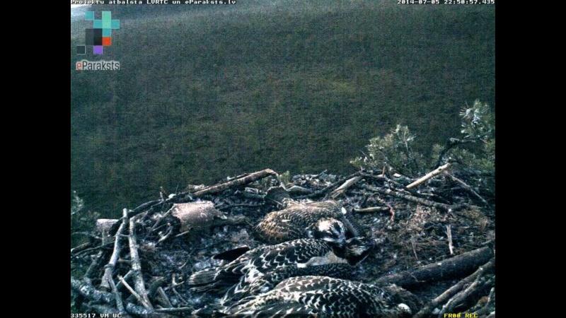 Latvian Osprey Nest ~ 2014 ~ Pērkons & Lauma - Page 2 S001210
