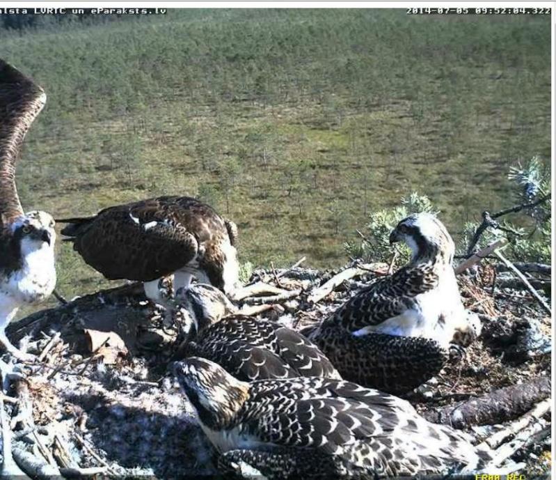 Latvian Osprey Nest ~ 2014 ~ Pērkons & Lauma - Page 40 S002810