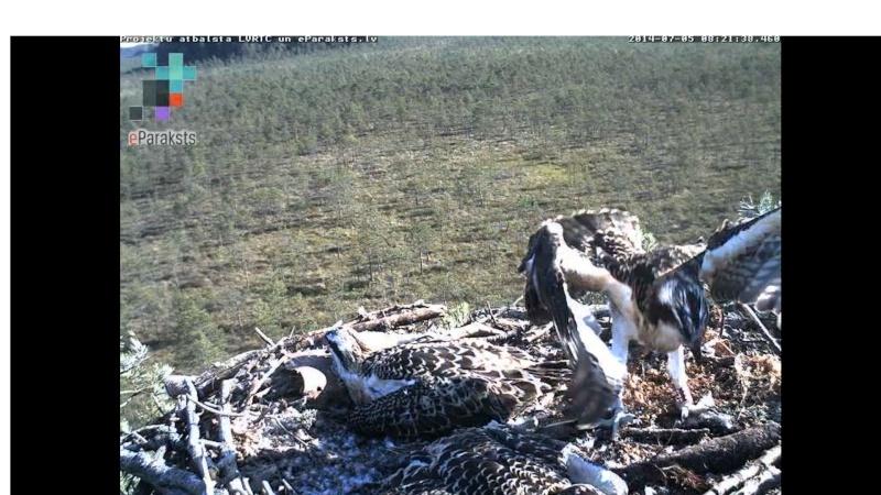 Latvian Osprey Nest ~ 2014 ~ Pērkons & Lauma - Page 40 S004010