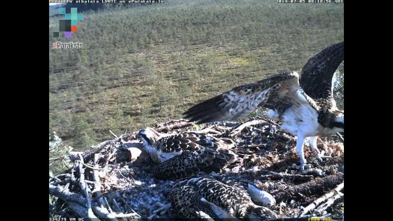 Latvian Osprey Nest ~ 2014 ~ Pērkons & Lauma - Page 40 S004210