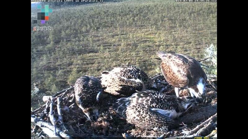 Latvian Osprey Nest ~ 2014 ~ Pērkons & Lauma - Page 39 S004710