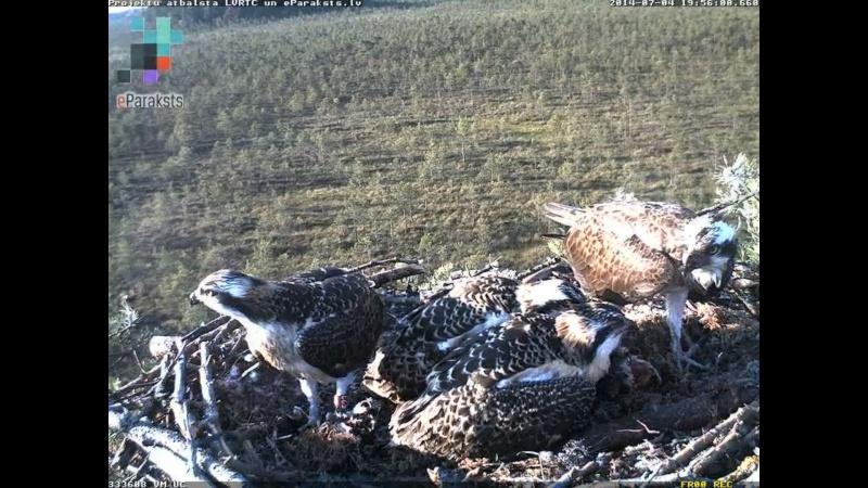 Latvian Osprey Nest ~ 2014 ~ Pērkons & Lauma - Page 39 S004810