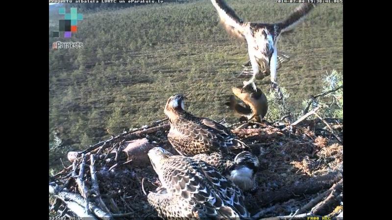 Latvian Osprey Nest ~ 2014 ~ Pērkons & Lauma - Page 39 S005110