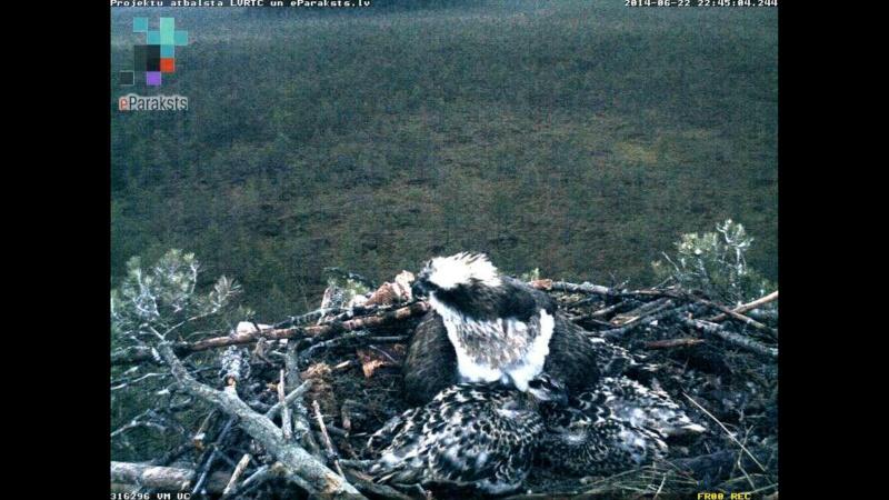 Latvian Osprey Nest ~ 2014 ~ Pērkons & Lauma X1234101
