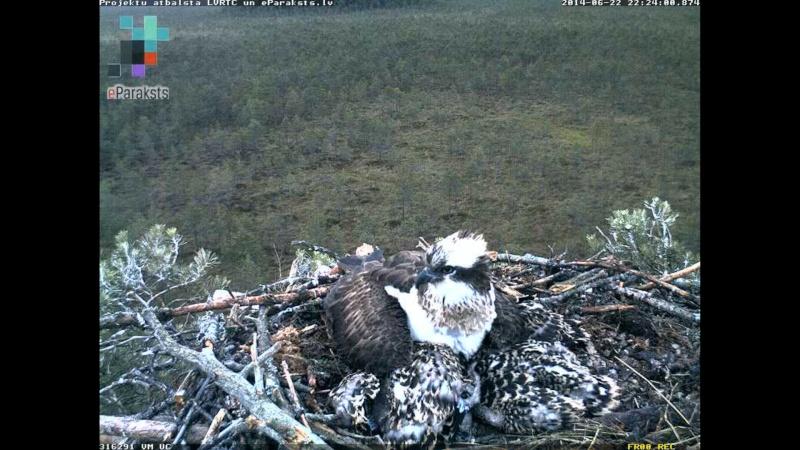 Latvian Osprey Nest ~ 2014 ~ Pērkons & Lauma X1234102