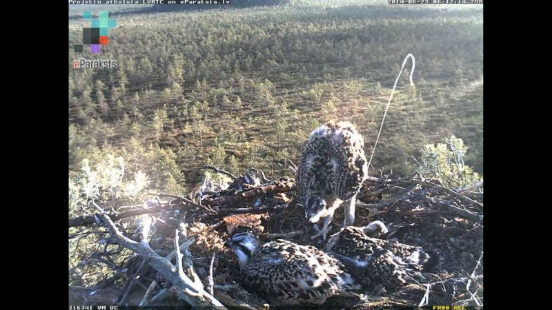Latvian Osprey Nest ~ 2014 ~ Pērkons & Lauma X1234412