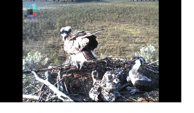 Latvian Osprey Nest ~ 2014 ~ Pērkons & Lauma - Page 39 X1234589