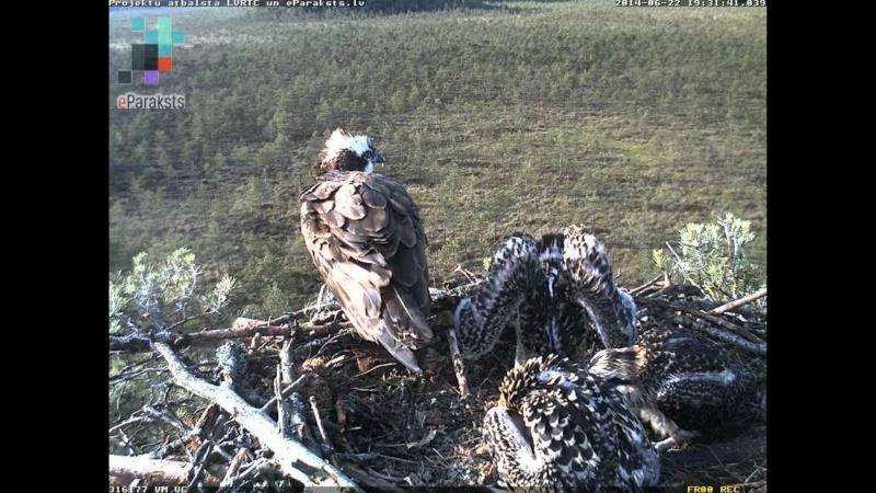 Latvian Osprey Nest ~ 2014 ~ Pērkons & Lauma - Page 39 X1234590