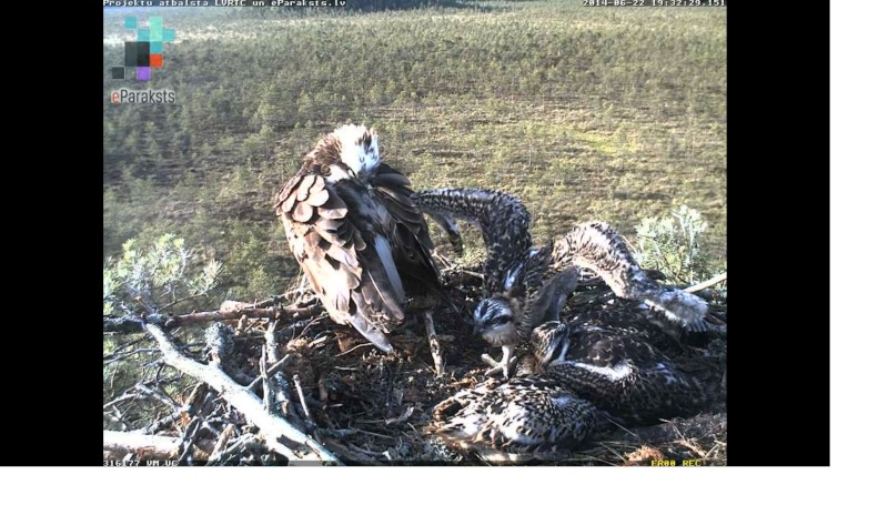 Latvian Osprey Nest ~ 2014 ~ Pērkons & Lauma - Page 39 X1234591