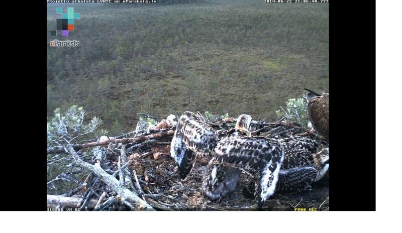 Latvian Osprey Nest ~ 2014 ~ Pērkons & Lauma - Page 40 X1234597