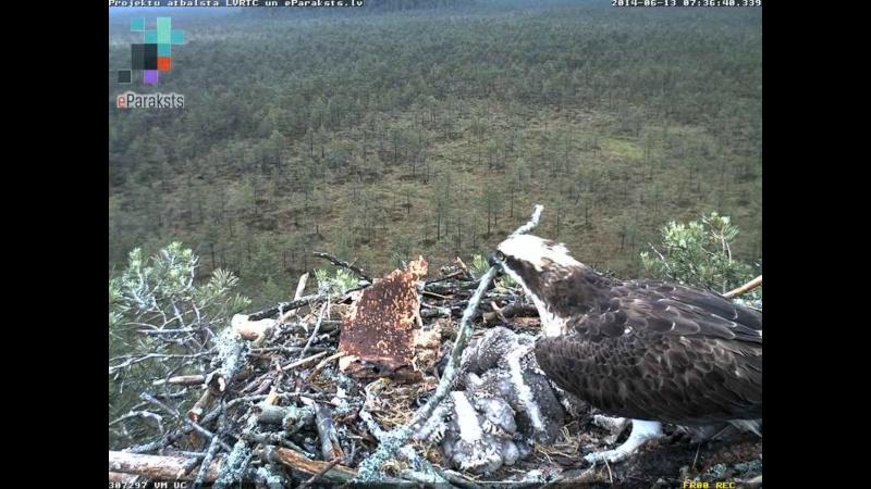 Latvian Osprey Nest ~ 2014 ~ Pērkons & Lauma - Page 2 Y1234211