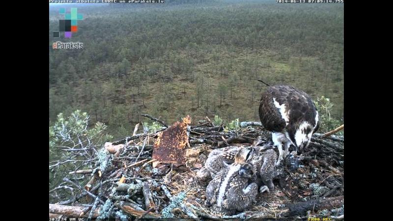 Latvian Osprey Nest ~ 2014 ~ Pērkons & Lauma - Page 2 Y1234319