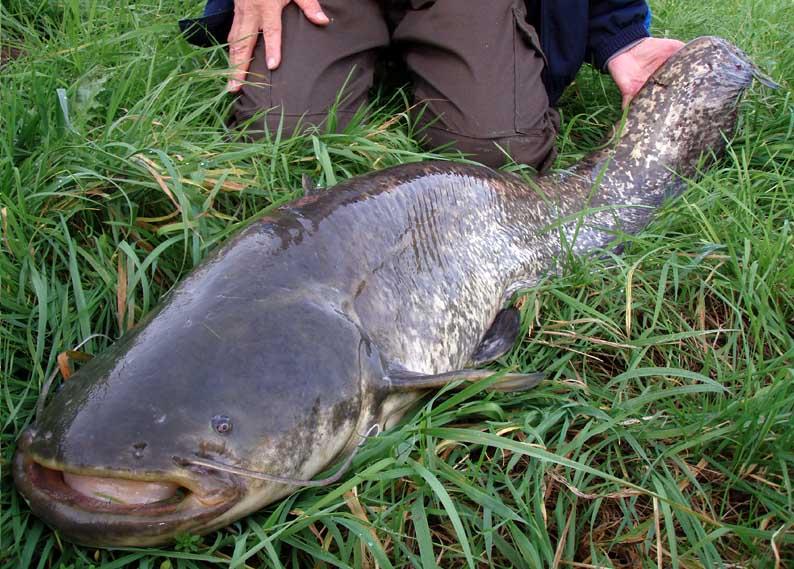 Vos sorties de pêche d'octobre 2014 - Page 3 Silure15