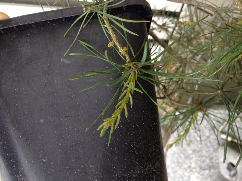 Pinus sylvestris, what to do after back budding? Image11