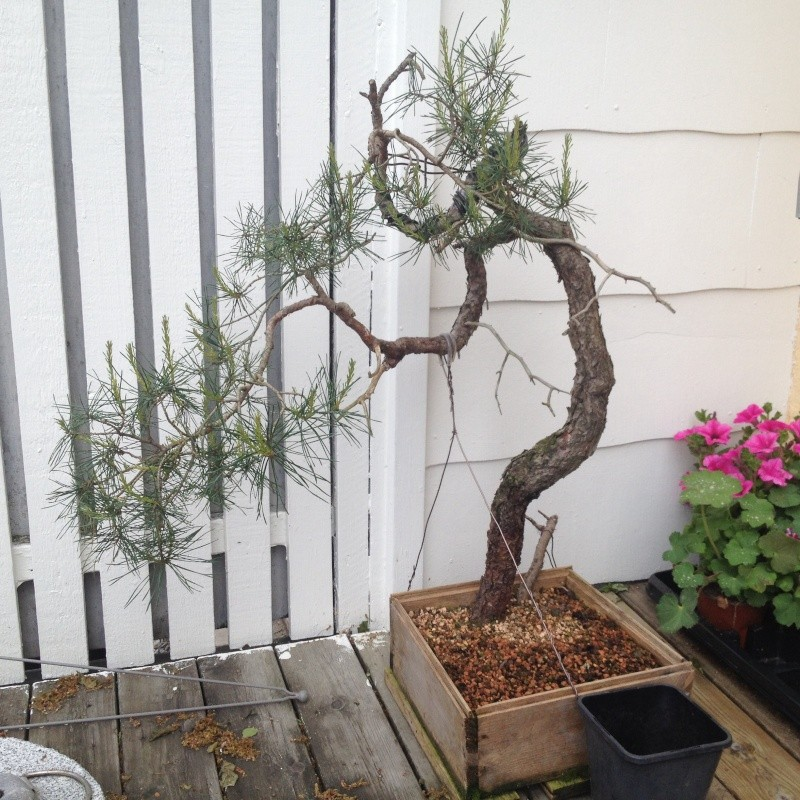 Pinus sylvestris, what to do after back budding? Image15