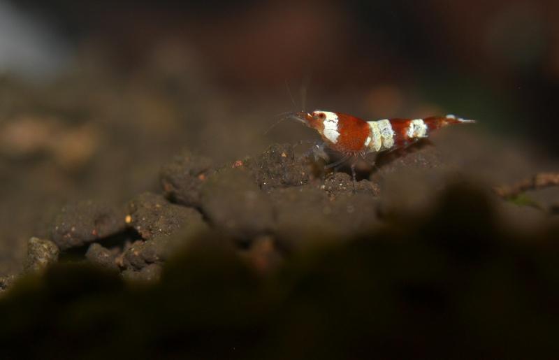 60l à crevettes Dsc_0307