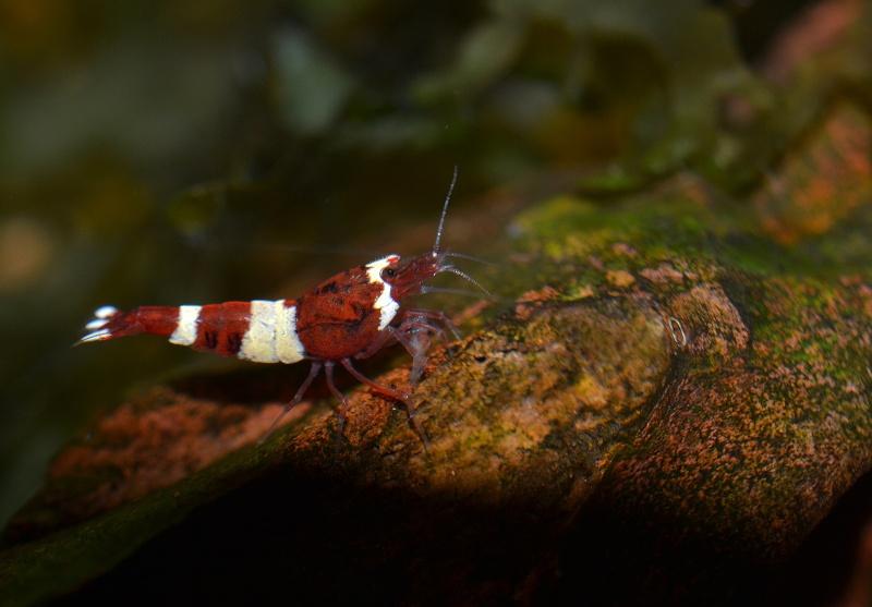 60l à crevettes Redwin10