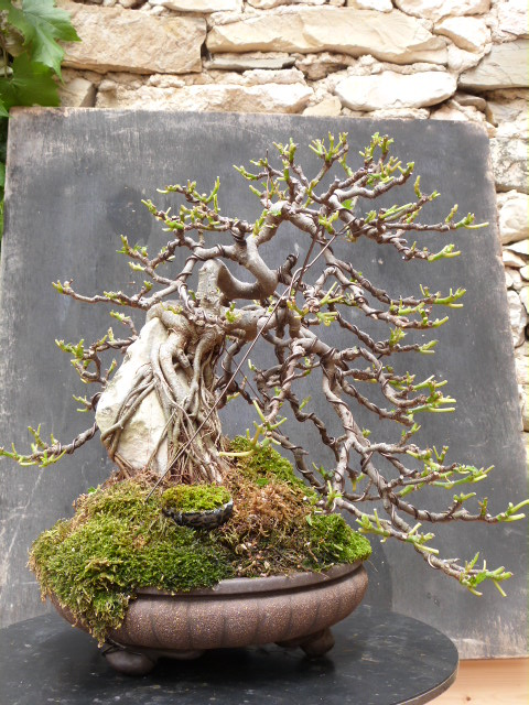 ficus carica on stone...3 years of evolution - Page 2 P1180910
