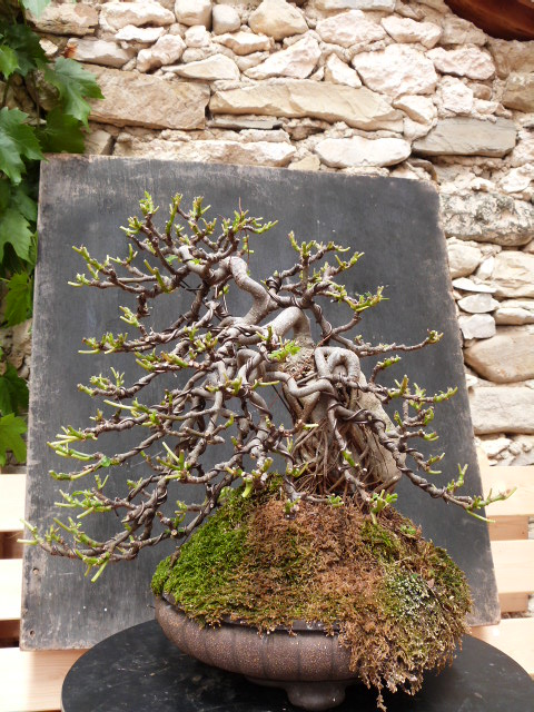 ficus carica on stone...3 years of evolution - Page 2 P1190010
