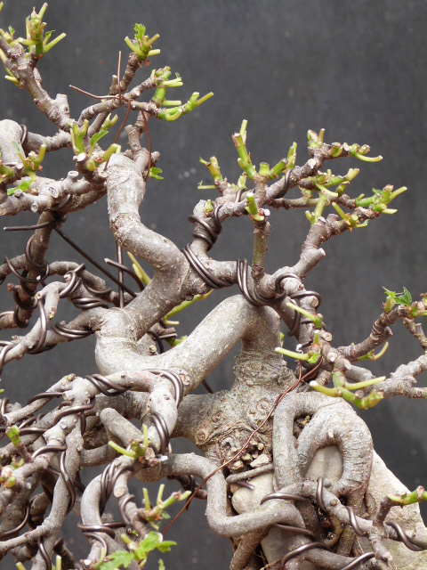 ficus carica on stone...3 years of evolution - Page 2 P1190012